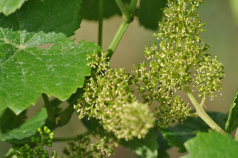 9. Juni – Blüte – Weißburgunder Sommerhalde
