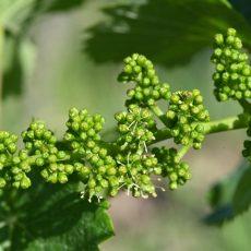Wann blühen Weinreben?
