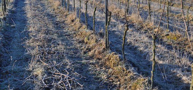 Winterzeit – Ruhe im Rebberg – Rebschnitt
