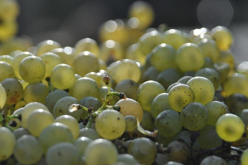 Vollreife Chardonnay Trauben Oktober 2012