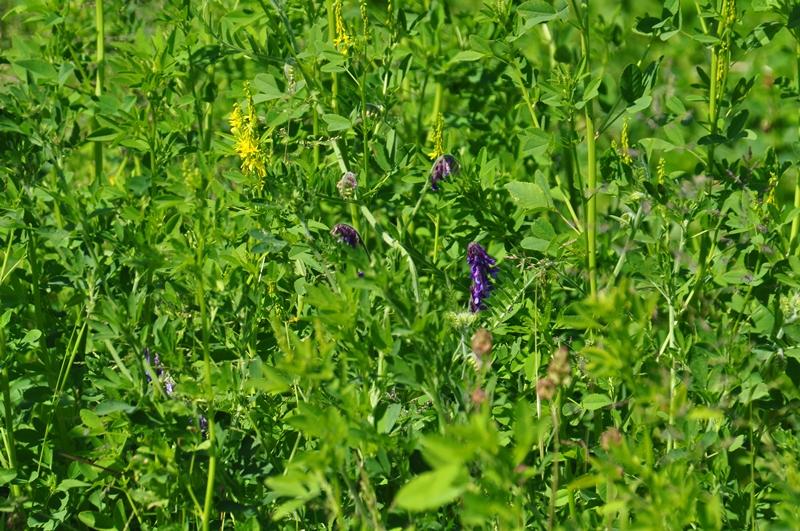 Die Wicken (blau) und die Luzerne (gelb) fangen an zu blühen