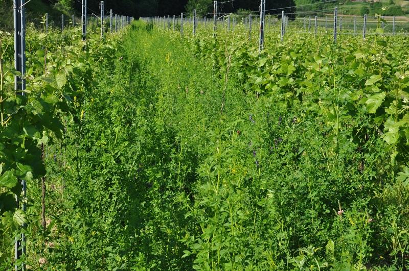 ökologischer Weinbau - Weinbergsbegrünung - Bombacher Sommerhalde